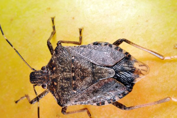 How to Keep Stink Bugs away from Your Home